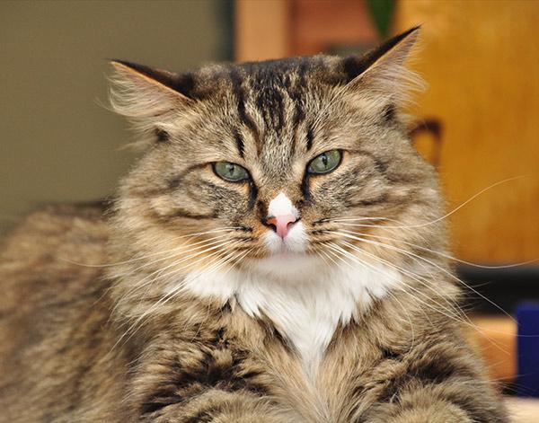 Feline Nutritional Counseling in Chapel Hill, TN