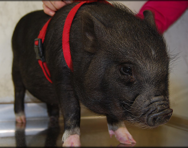 Pig Health Care in Chapel Hill, TN